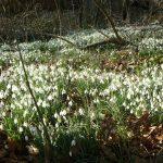 sneeuwklokjes stinzenplant wildemansheerd
