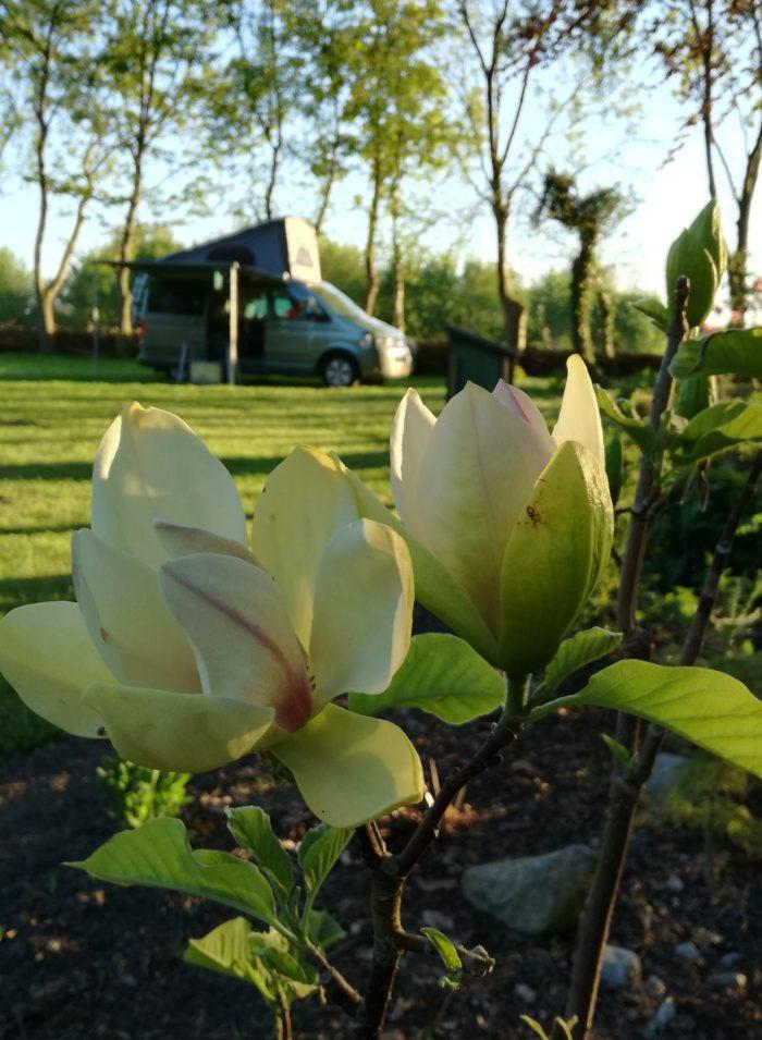 Magnolia Wildemansheerd