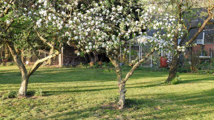 Appelbomen in bloei.