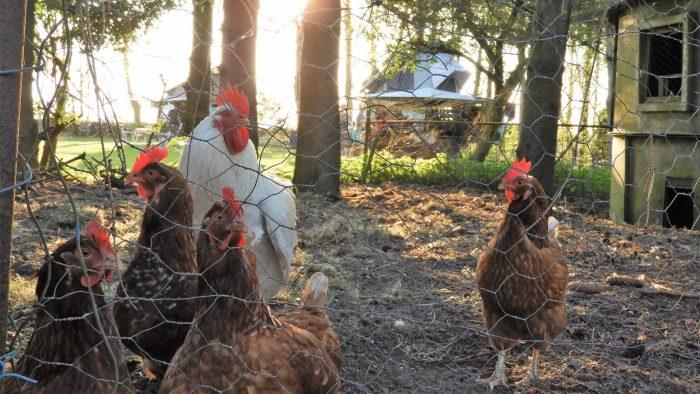 Nieuwsgierige kippen.